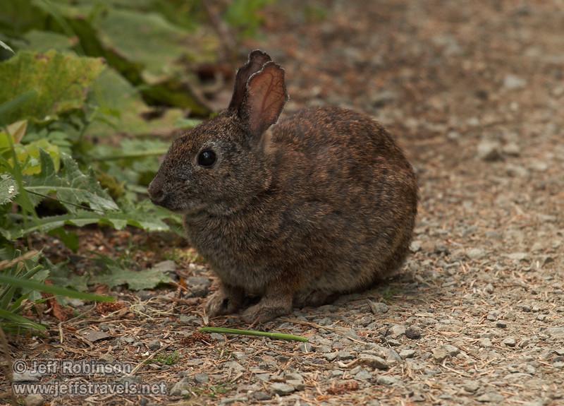 Cotton tail rabbit (7/2/2008, Rim Trail, Patrick's Point SP, Redwoods trip)