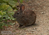 Cotton tail rabbit (7/2/2008, Rim Trail, Patrick's Point SP, Redwoods trip)