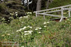 White flowers (Cow Parsnip) on trail to Mussel Beach (7/2/2008, Rim Trail, Patrick's Point SP, Redwoods trip)