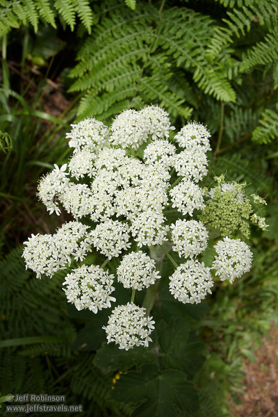 White flowers (likely Cow Parsnip) (7/2/2008, Rim Trail, Patrick's Point SP, Redwoods trip)