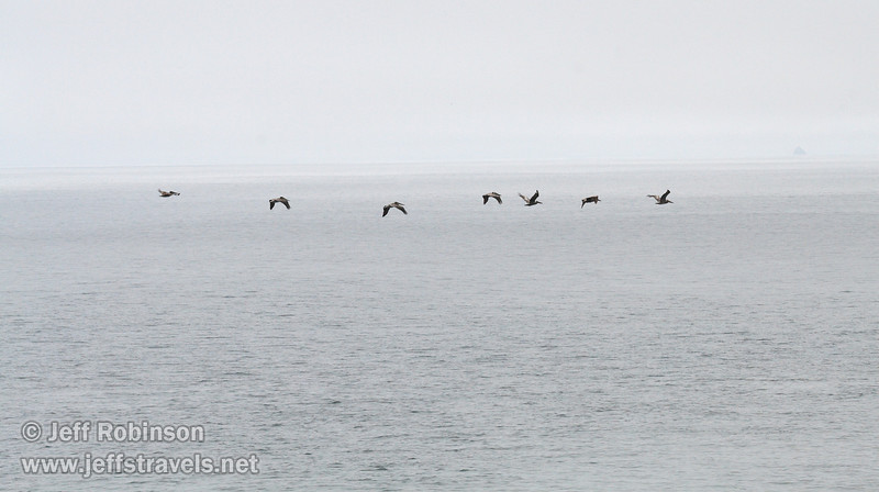 Pelicans flying, seen from the trail to Mussel Rock (7/2/2008, Rim Trail, Patrick's Point SP, Redwoods trip)