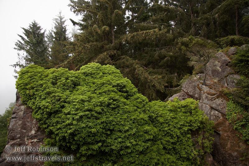 Green trees & foilage on Ceremonial Rock (7/2/2008, Rim Trail, Patrick's Point SP, Redwoods trip)