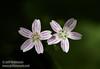 Small lavender flowers (7/2/2008, Rim Trail, Patrick's Point SP, Redwoods trip)