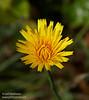 Tall, yellow dandelion-like flower (7/2/2008, Rim Trail, Patrick's Point SP, Redwoods trip)