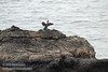 Cormorant with spread wings on rock, seen from the trail to Mussel Rock (7/2/2008, Rim Trail, Patrick's Point SP, Redwoods trip)