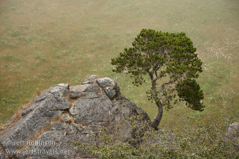Cool tree growing on rock with fog in background, seen from the top of Ceremonial Rock (7/2/2008, Rim Trail, Patrick's Point SP, Redwoods trip)