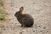 Cotton tail rabbit on trail (7/2/2008, Rim Trail, Patrick's Point SP, Redwoods trip)