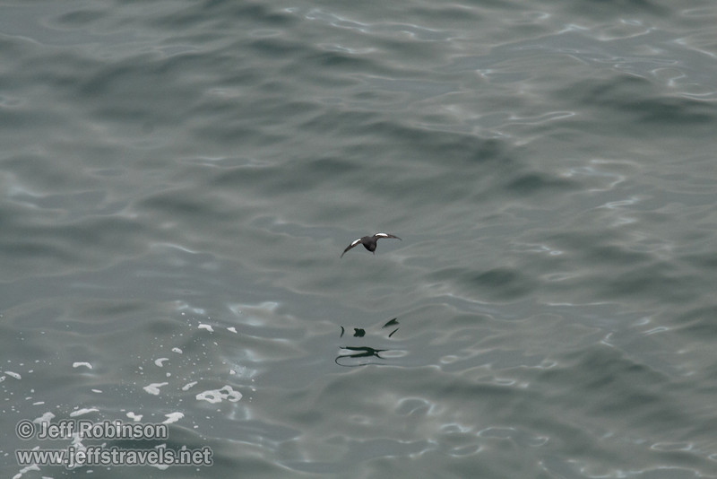 Black bird with white patches on the top of each wing flying over water, likely a Pigeon Guillemot, seen from viewing area between Wedding Rock and Patrick's Point (7/2/2008, Rim Trail, Patrick's Point SP, Redwoods trip)