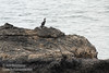 Cormorant on rock, seen from the trail to Mussel Rock (7/2/2008, Rim Trail, Patrick's Point SP, Redwoods trip)