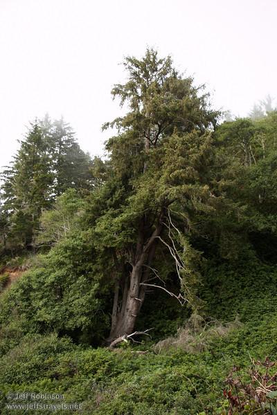 Coastal trees (7/2/2008, Rim Trail, Patrick's Point SP, Redwoods trip)