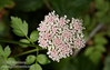 White flower (similar to Cow Parsnip) with a hint of pink (7/2/2008, Rim Trail, Patrick's Point SP, Redwoods trip)