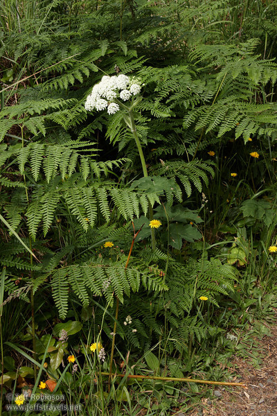 White flowers (likely Cow Parsnip) and yellow flowers (7/2/2008, Rim Trail, Patrick's Point SP, Redwoods trip)