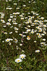 While flowers (daisys?) at trail head for the Rim Trail (7/2/2008, Rim Trail, Patrick's Point SP, Redwoods trip)