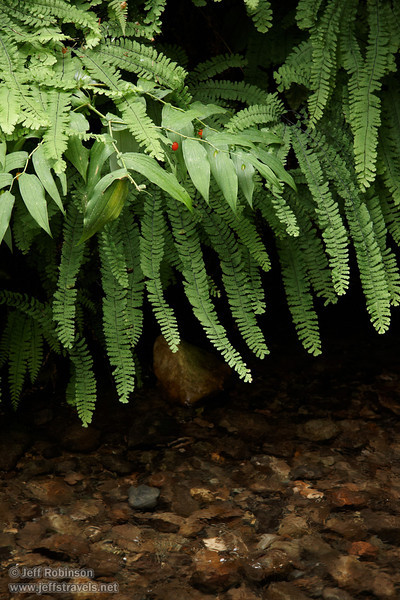 Fern leaves above water in stream (7/1/2008, Fern Canyon,  Prairie Creek Redwoods SP, Redwoods trip)
