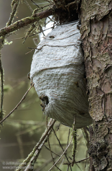 Probably a wasp nest, seen on a tree on the return (upper) part of the Fern Canyon Trail (7/1/2008, Fern Canyon trail, Prairie Creek Redwoods SP, Redwoods trip)