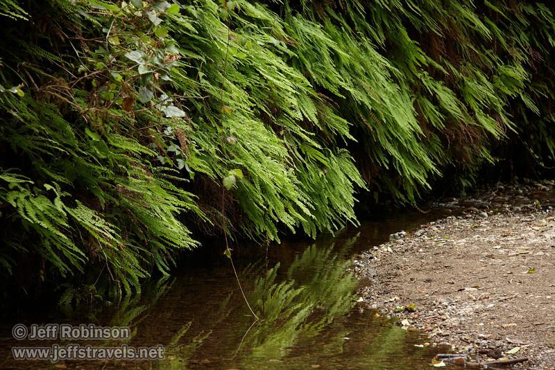 Ferns reflected in stream (7/1/2008, Fern Canyon,  Prairie Creek Redwoods SP, Redwoods trip)
