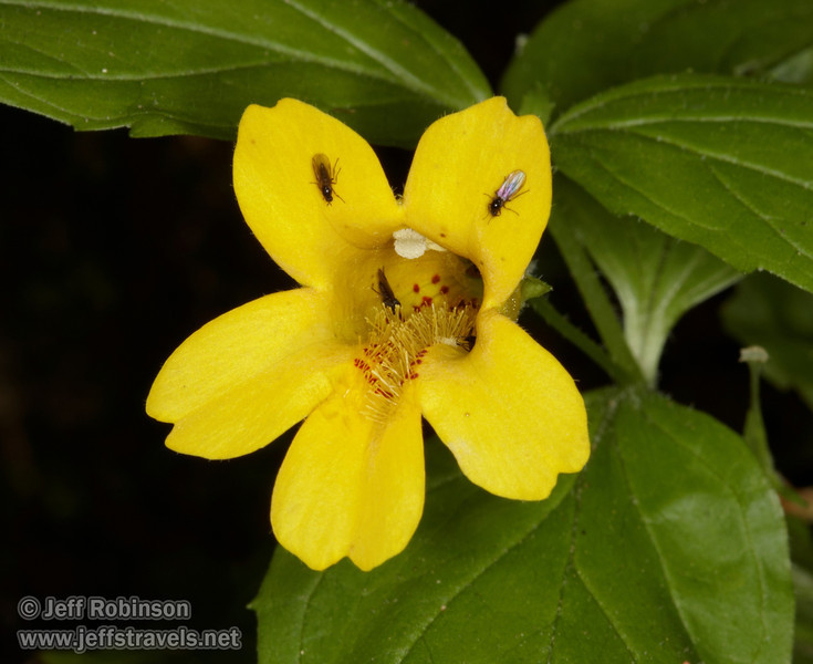 Yellow flower with tiny flies (7/1/2008, Fern Canyon,  Prairie Creek Redwoods SP, Redwoods trip)