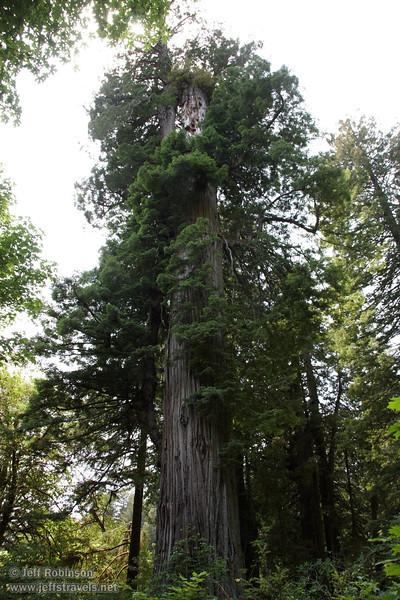 The Big Tree (7/1/2008, Big Tree parking lot,  Prairie Creek Redwoods SP, Redwoods trip)