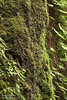 Water dripping down moss-covered bank of Fern Canyon (7/1/2008, Fern Canyon trail, Prairie Creek Redwoods SP, Redwoods trip)