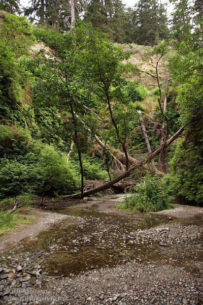 A fallen tree whose branches are growing up as new trees stretches over the stream in Fern Canyon (7/1/2008, Fern Canyon,  Prairie Creek Redwoods SP, Redwoods trip)