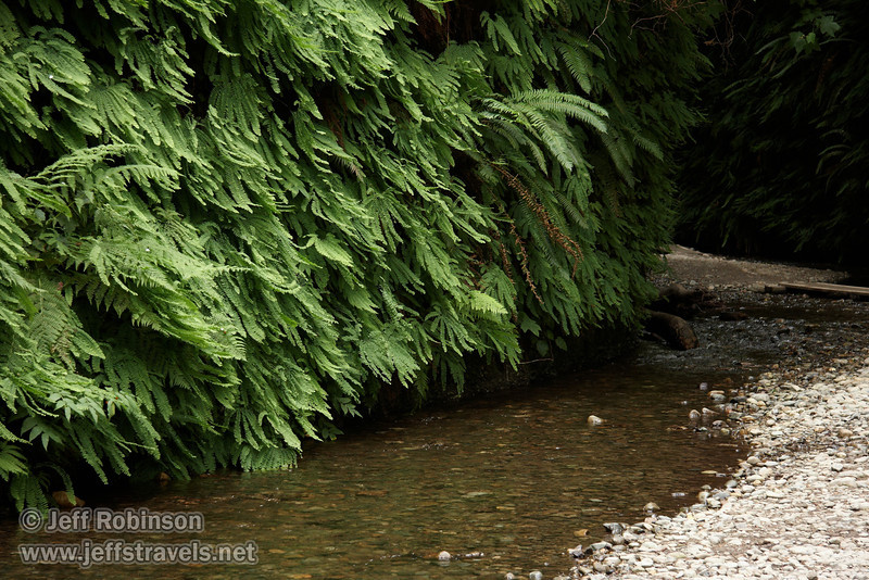 Fern-covered wall and stream (7/1/2008, Fern Canyon,  Prairie Creek Redwoods SP, Redwoods trip)