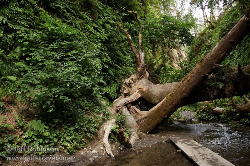Fallen trees in Fern Canyon (7/1/2008, Fern Canyon,  Prairie Creek Redwoods SP, Redwoods trip)