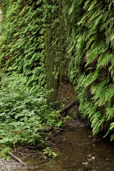 Water dripping off of moss-covered wall surrounded by ferns (7/1/2008, Fern Canyon,  Prairie Creek Redwoods SP, Redwoods trip)
