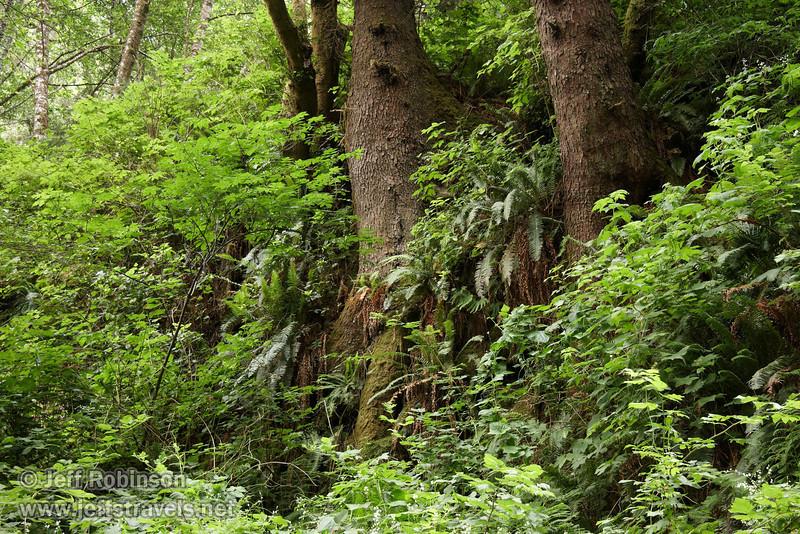 Tree trunks above Fern Canyon (7/1/2008, Fern Canyon,  Prairie Creek Redwoods SP, Redwoods trip)
