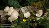 White fungus on tree branch (7/1/2008, Fern Canyon trail,  Prairie Creek Redwoods SP, Redwoods trip)