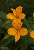 Yellow orange flower (likely some variety of Monkey Flower) that seems common in the area. (7/1/2008, Big Tree parking lot,  Prairie Creek Redwoods SP, Redwoods trip)