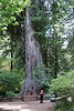 Biker in pink jacket in front of the Big Tree (7/1/2008, Big Tree parking lot,  Prairie Creek Redwoods SP, Redwoods trip)
