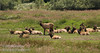 Herd of Roosevelt Elk in Elk Meadow off Davidson Rd.  (7/2/2008, Redwood NP, Redwoods trip)