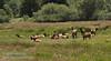 Herd of Roosevelt Elk in Elk Meadow off Davidson Rd.  (7/2/2008, Redwood NP, Redwoods trip)