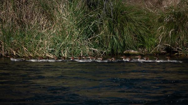 Merganser Ducks on the Deschutes