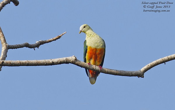 Silver-capped Fruit Dove