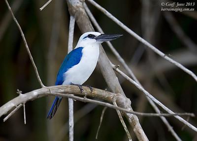 Beach Kingfisher