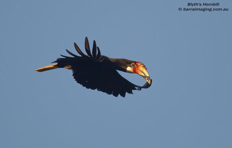 Blyth's Hornbill female