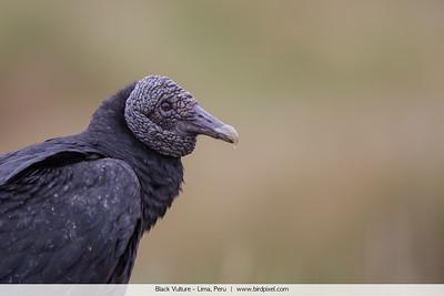 Black Vulture - Lima, Peru
