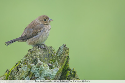 Band-tailed Seedeater - Lomas de Lachay, Peru