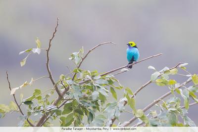 Paradise Tanager - Moyobamba, Peru
