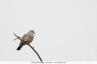 Croaking Ground-Dove - Lima, Peru