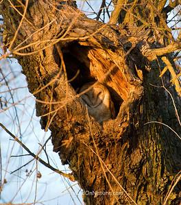 Barn Owl Roosting