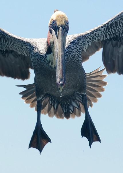 Brown Pelican up close