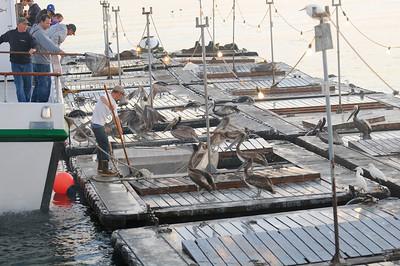 Pelicans looking for a bait handout
