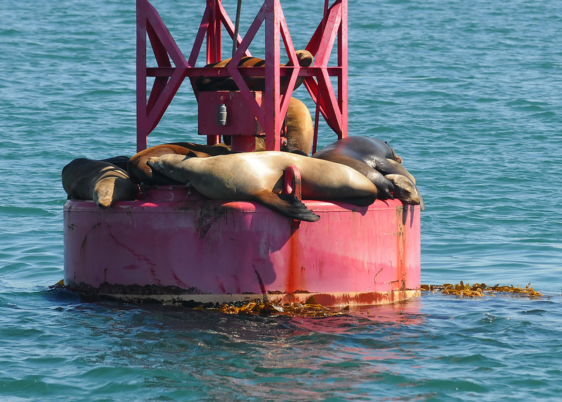 California sea lions hauled out on a buoy
