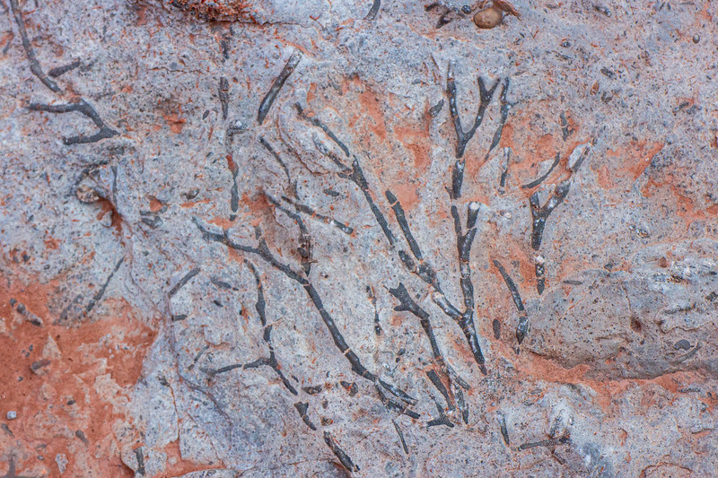 Fossilized Coraline Red Algae maybe