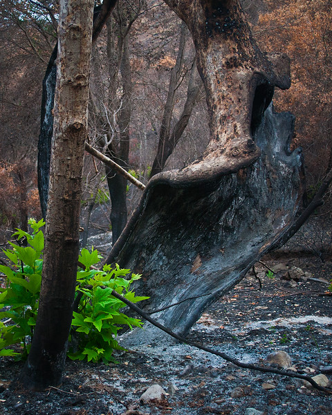 After the Springs Fire - Sycamore Canyon