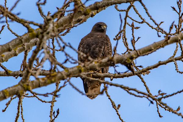 Sauvie Island Birds 1-6-18 44