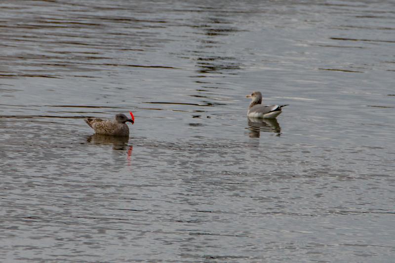 Sauvie Island Birds 1-6-18 51