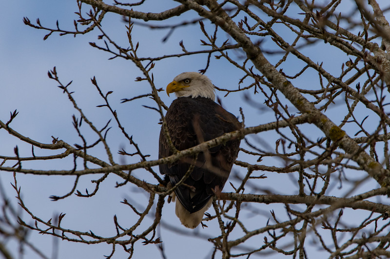 Sauvie Island Birds 1-6-18 34